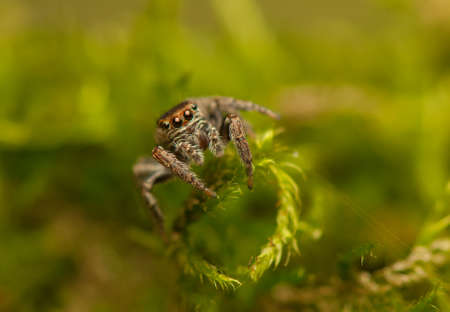 Evarcha - Jumping spider Stock Photo - 22772207