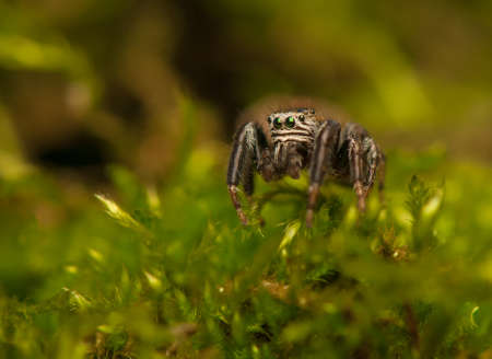 Evarcha - Jumping spider Stock Photo - 22771876