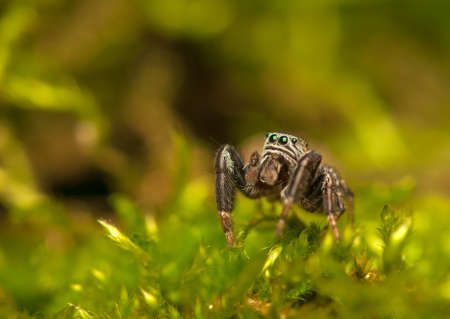 Evarcha - Jumping spider Stock Photo - 22771888