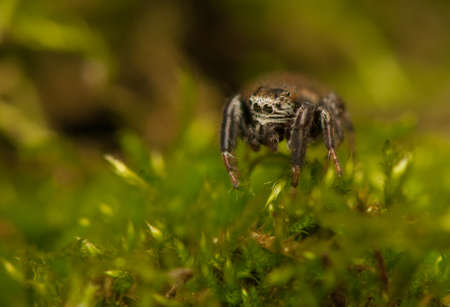 Evarcha - Jumping spider Stock Photo - 22771889