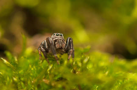 Evarcha - Jumping spider Stock Photo - 22771890