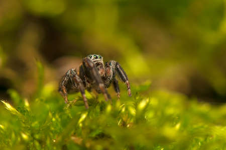 Evarcha - Jumping spider Stock Photo - 22771891