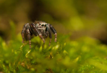 Evarcha - Jumping spider Stock Photo - 22771892