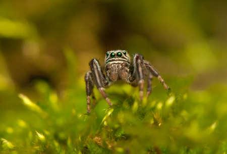 arcuata: Evarcha - Jumping spider