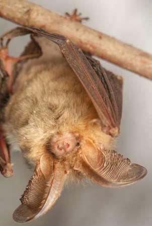 echolocation: Plecotus auritus