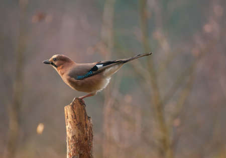 Common jay photo