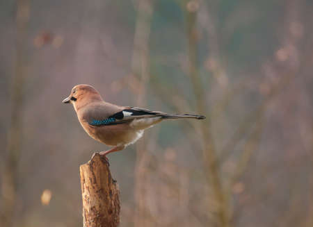 Common jay Stock Photo - 23690102