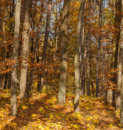 unevenly: Autumn forest Stock Photo
