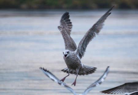 larus: Seagull - Larus argentatus Stock Photo