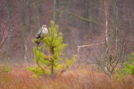 Buzzard Stock Photo - 23766519