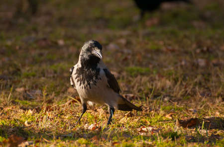 Hooded crow, crow, Corvus cornix photo