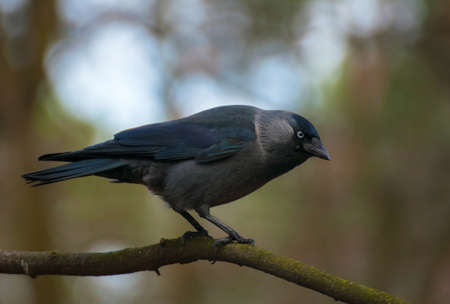 Jackdaw Stock Photo - 24055046