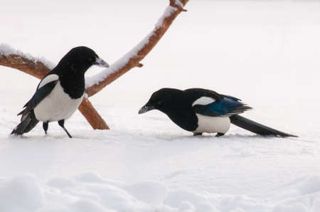 Magpie Pica pica Stock Photo - 24337104