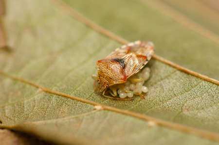 pronotum: Beetle insect