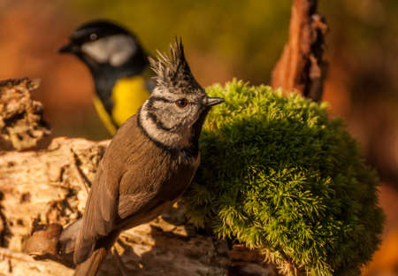 twing: Tit - Parus major and Crested tit Stock Photo