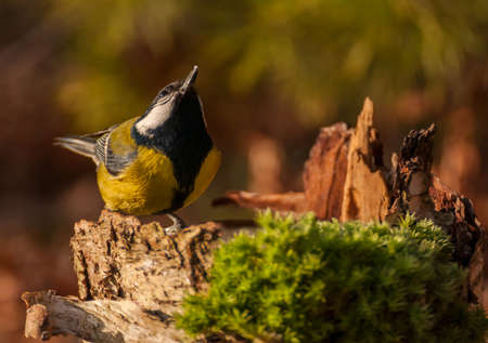 Tit - Parus major photo