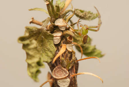 Diaea dorsata photo