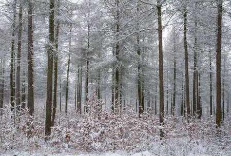softwood: Winter forest