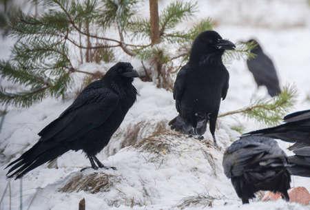 difficult period: Raven