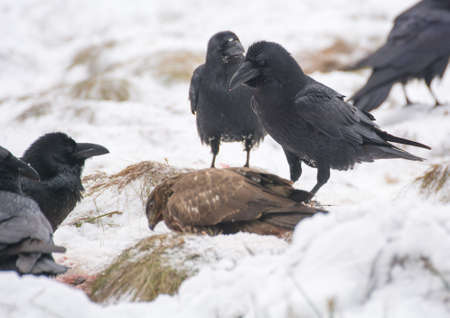 Raven and buzzard photo