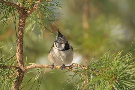 twing: Crested tit Stock Photo