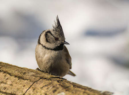 Crested tit photo