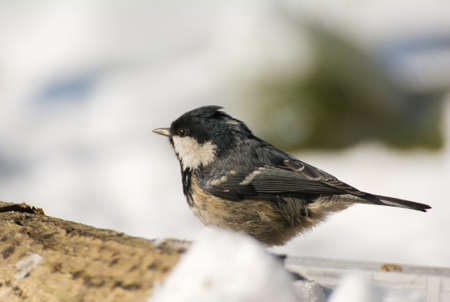 Coal tit photo