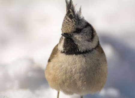 crested: Crested tit Stock Photo