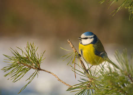 Blue tit photo