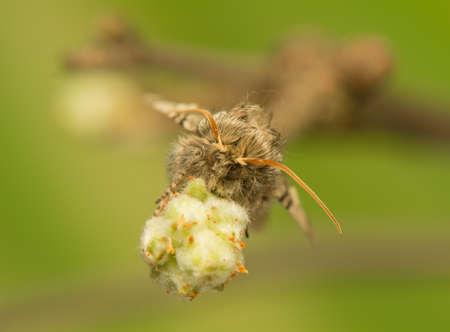Achlya flavicornis photo