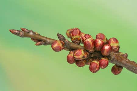 perianth: Spring bud