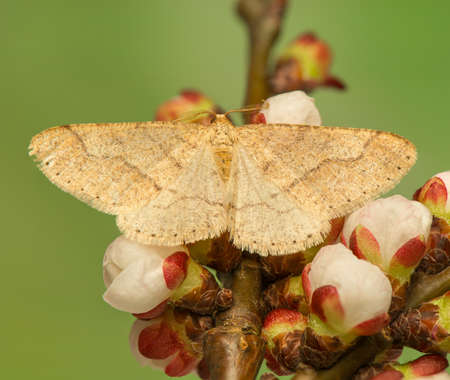 macrophotography: Moth - insect - Geometridae
