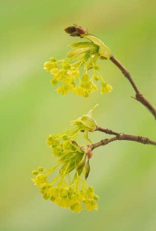 acer: Acer pseudoplatanus