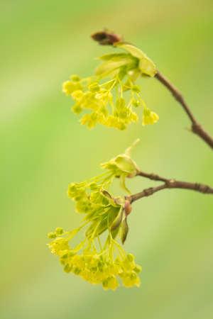 perianth: Acer pseudoplatanus