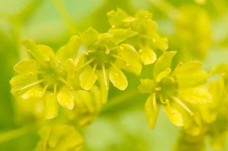 blumen: Acer pseudoplatanus