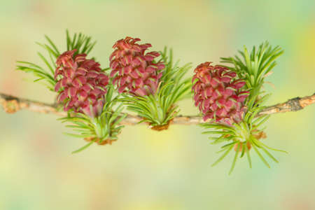 Larch flower photo