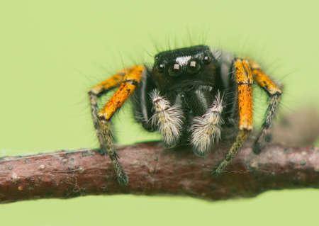 salticidae: Philaeus chrysops - Jumping spider