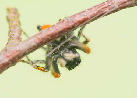 chrysops: Philaeus chrysops - Jumping spider