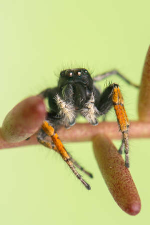 jumping spider: Philaeus chrysops - Jumping spider