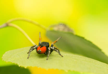 Philaeus chrysops - Jumping spider