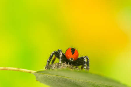 Philaeus chrysops - Jumping spider photo
