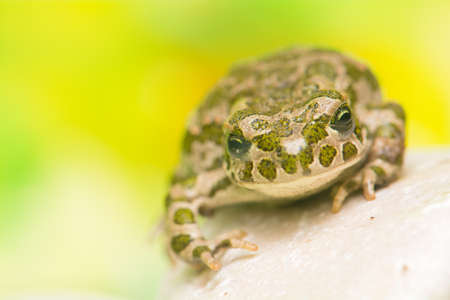 viridis: Toad - Bufotes viridis Stock Photo