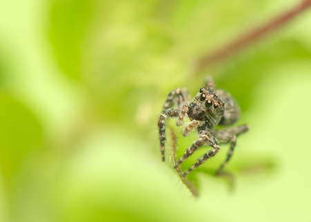 Jumping spider - Sitticus pubescens photo