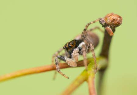 salticidae: Jumping spider