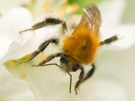 bombus: Bumblebee