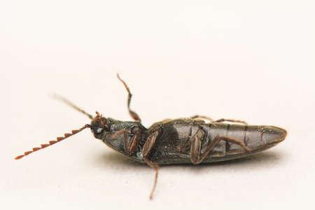 Jump beetle - Elateridae photo
