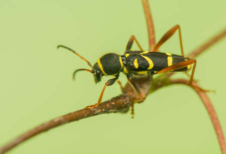 pronotum: Beetle - Clytus arietis Stock Photo