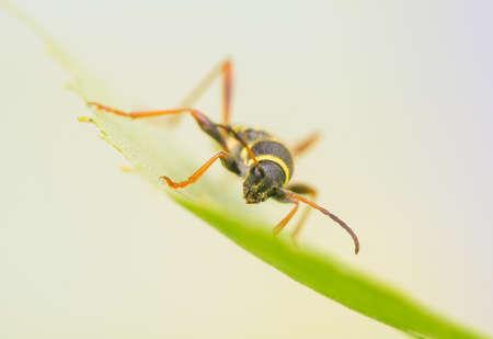 pronotum: Beetle - Clytus arietis Stock Photo