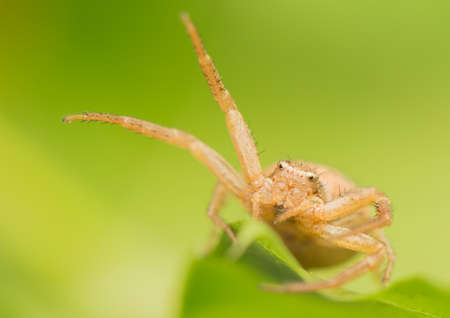 Spider - Xysticus photo