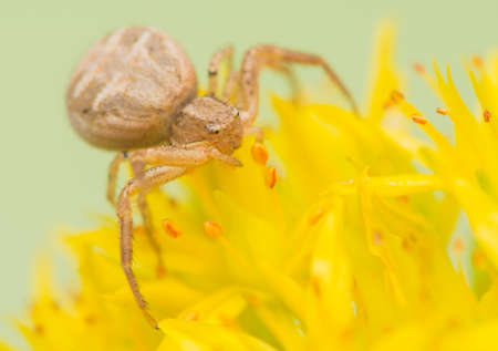 xysticus: Spider - Xysticus